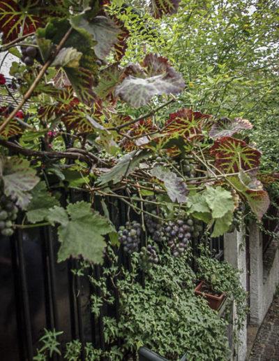 le raisin d'une maison de la villa de la Renaissance ©J.Barret