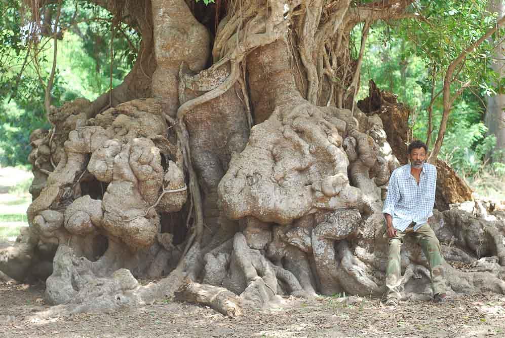 Stéphane Fall devant le tronc noueux d'un ficus de la forêt de basse Casamance près du village de Brin